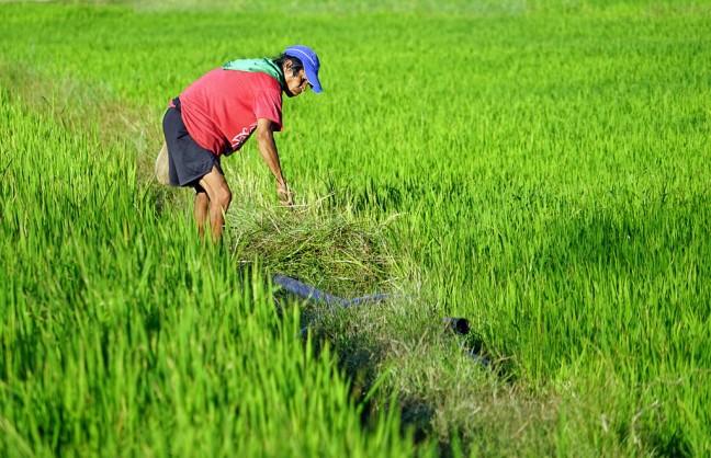 in het rijstveld