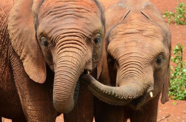 David Sheldrick's olifanten weeshuis