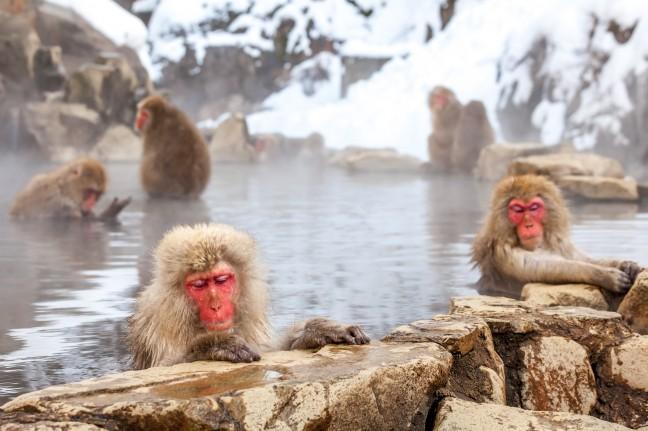 Japanse makaken in bad