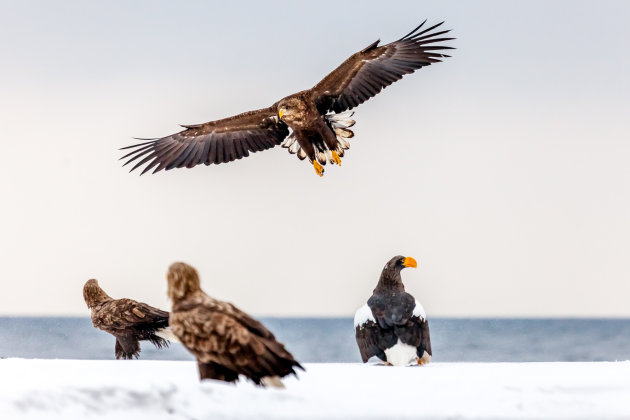 White-tailed sea-eagle zet de landing in