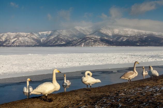 Whooper swans in Lake Kussharo