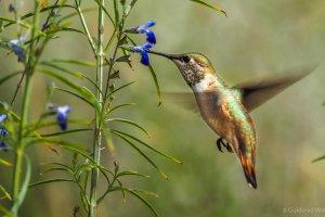 Arizona Kolibries