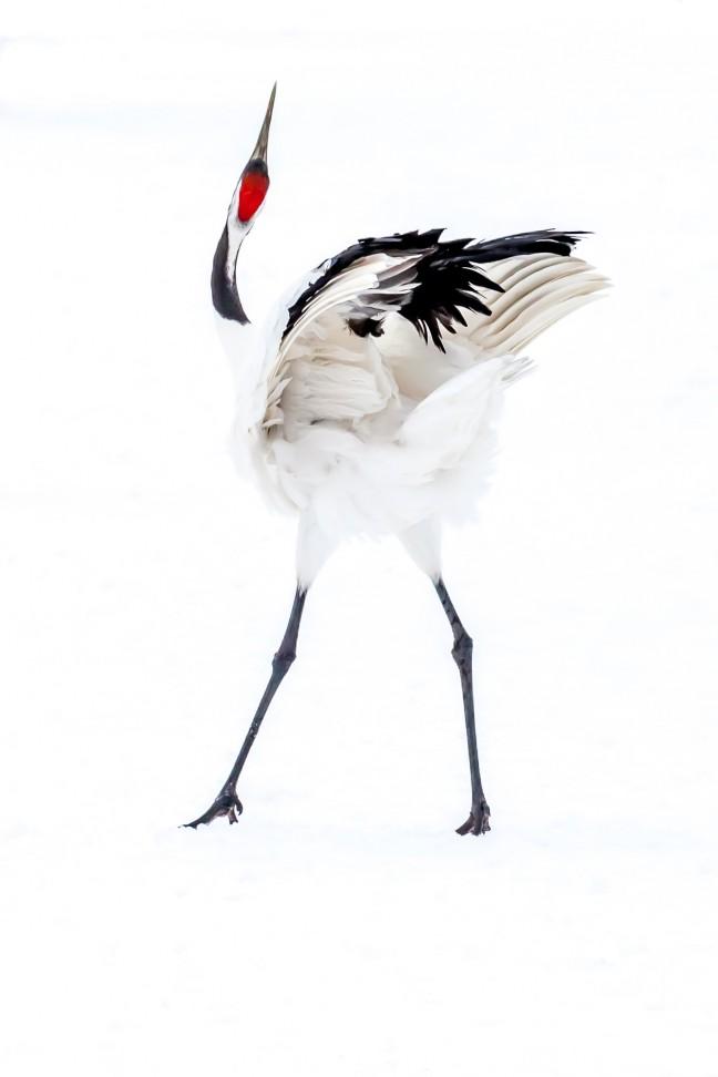 Japanse kraanvogel in de sneeuw