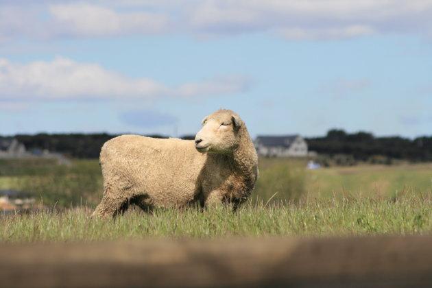 Alle schaapjes op het droge