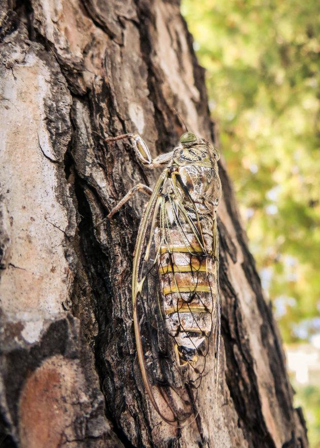 Het 'zingen' van de cicaden.