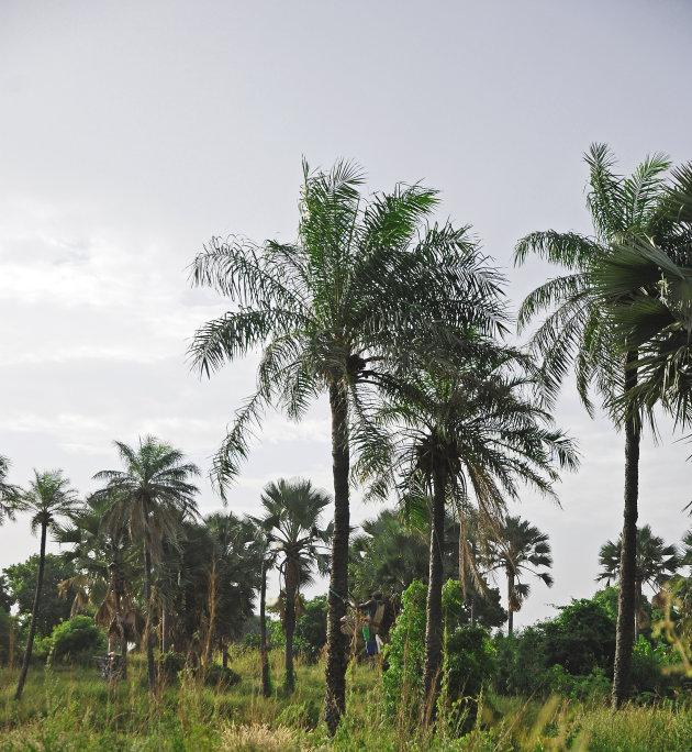 Palmwijn!