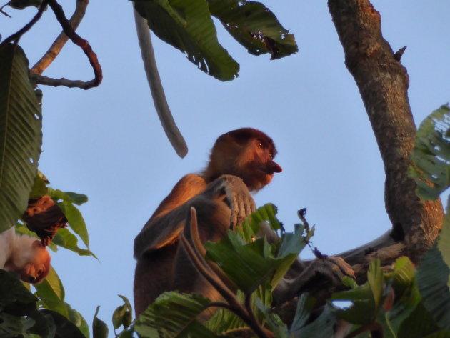 Neusaap in de jungle