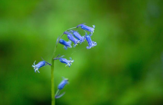 Wilde Hyacinten Hallerbos