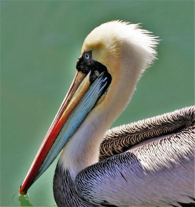 Kleurrijke pelikaan