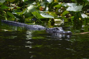 Alligator in de Everglades, Florida