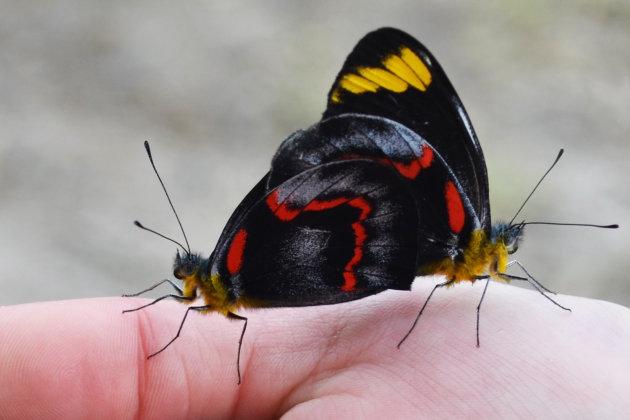 Vlinderkoppel