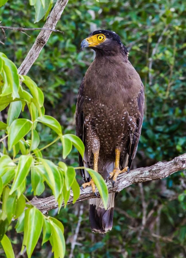 Roofvogel in Wilpattu N.P.