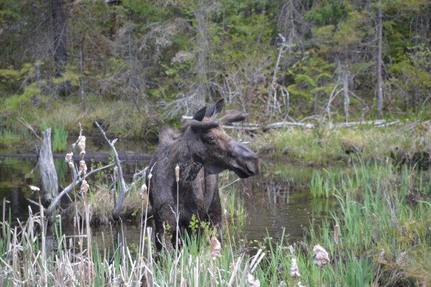 Eerste eland in het wild
