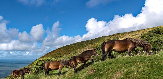 Exmoor en zijn pony's