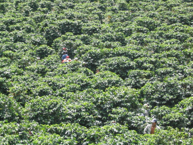 Zoekplaatje in koffieplantage