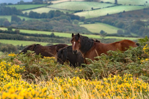 Dartmoor en zijn pony's