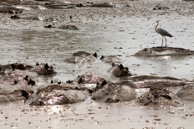 Moordende Modderpoel Vol Hippo's
