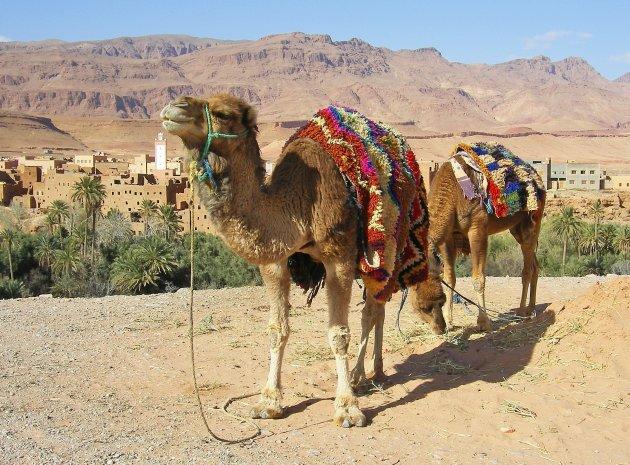 kamelen bij Tinerhir