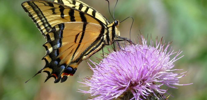 Western Tiger Swallowtail Prachtige vlinder