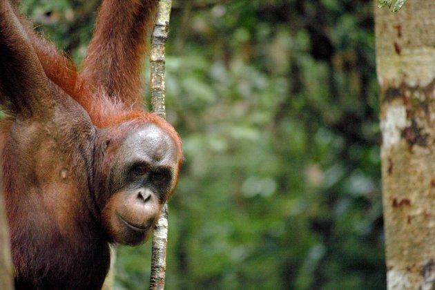Semenggoh Wildlife Rehabilitation Centre, Sarawak, Malaysia