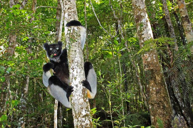 Op zoek naar de Indri in Madagaskar