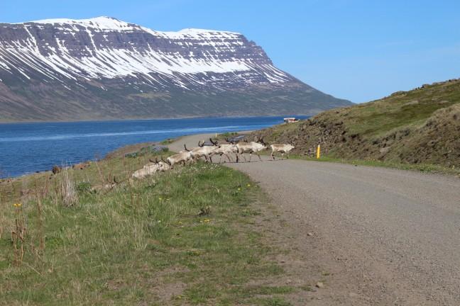 Rendieren bij het Seyðisfjörður