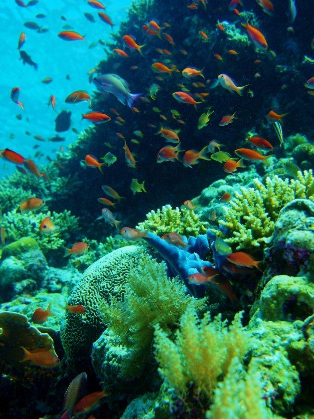 Oranje boven (koraal)