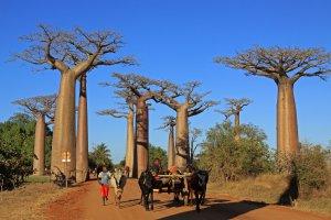 Baobab Allee