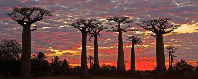 Baobab panorama
