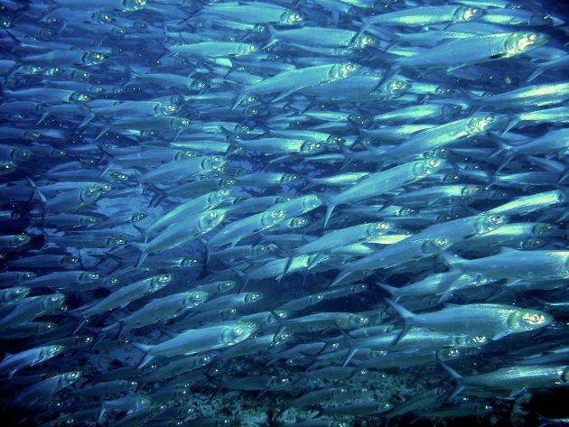 Makreel met haai
