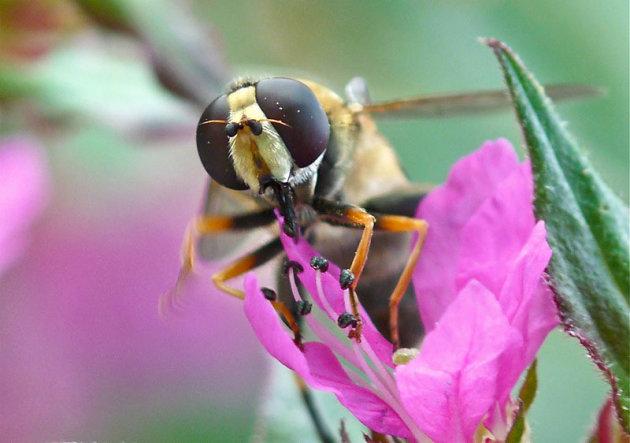 Klein zweefvliegje op een rose bloem