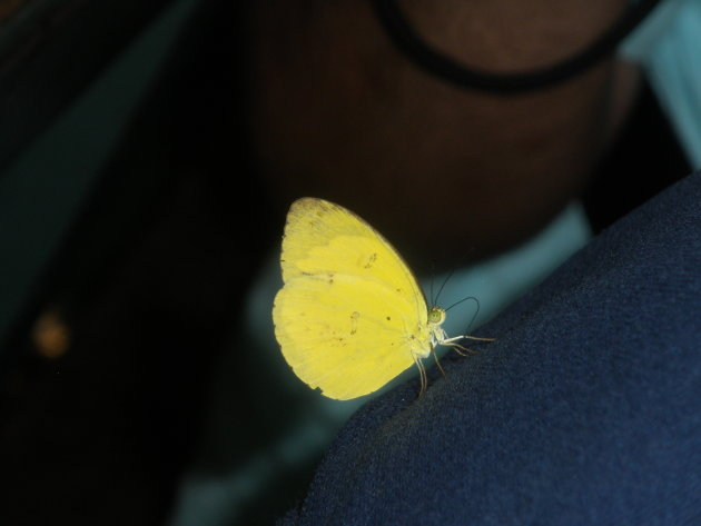 Beautiful butter-coloured butterfly in Borneo