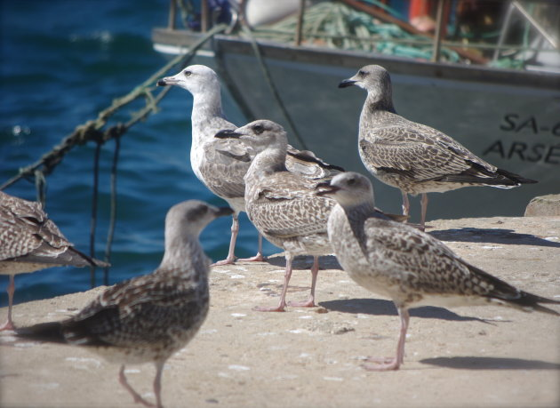 Meeuwen in vissershaven
