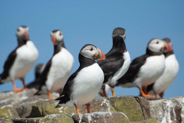 Papegaaiduikers op de Farne Islands