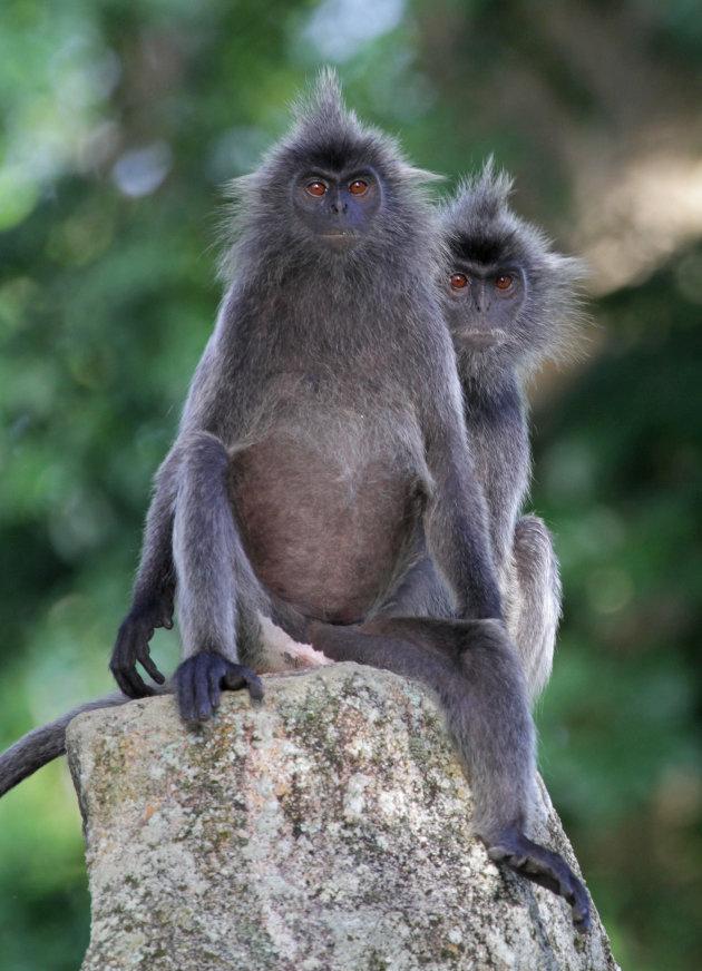 Eigenwijze silvered leaf monkeys