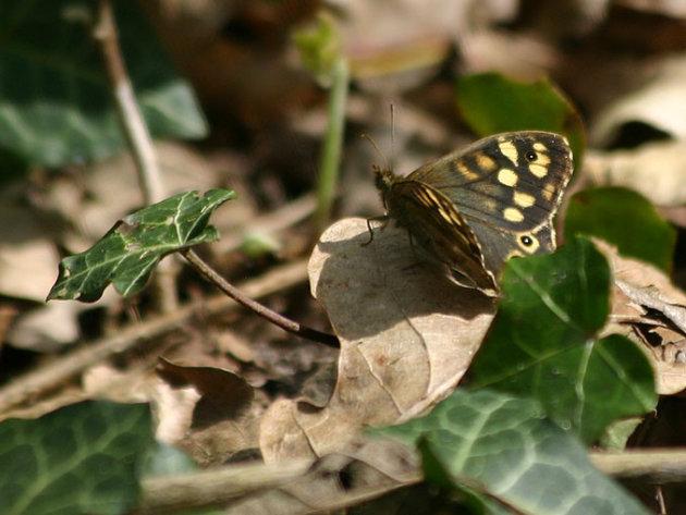 ...tot vlinder