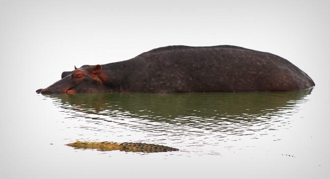 Gebroederlijk: Nijlpaard en Krokodil