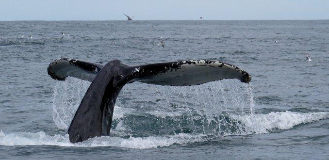 walvissen spotten vanuit Husavik