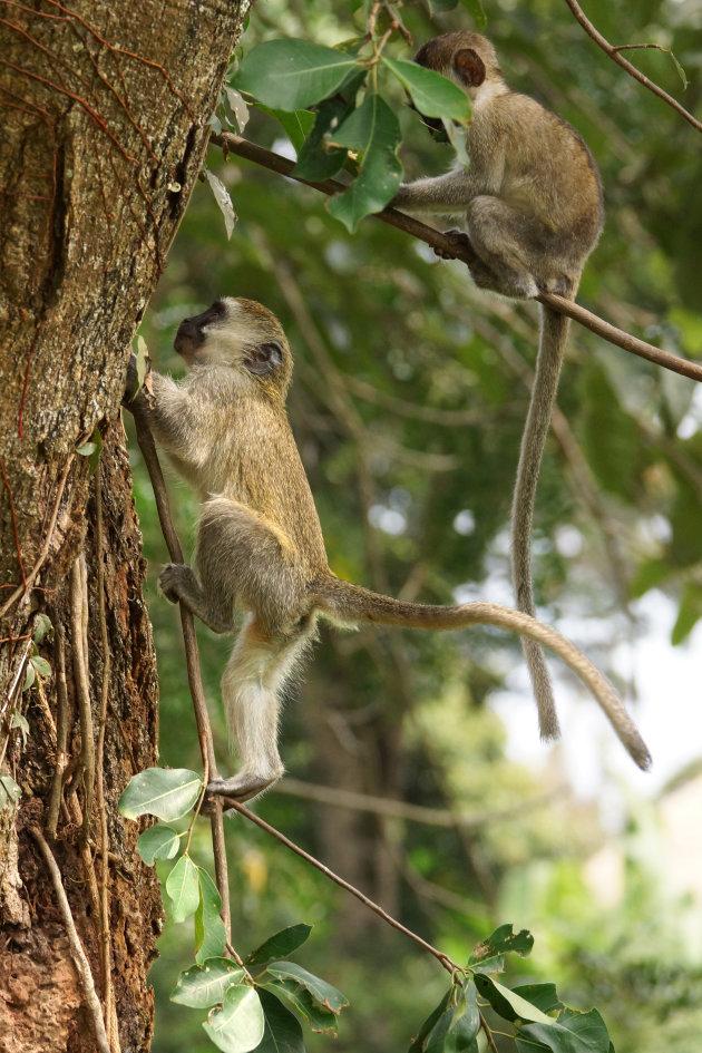 Groene meerkat kan al klimmen in Entebbe
