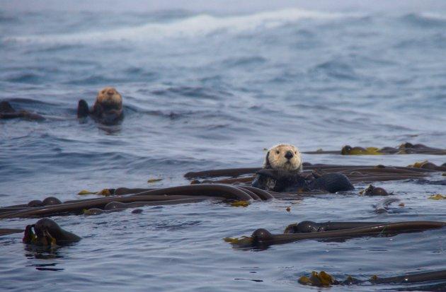 De familie zeeotter