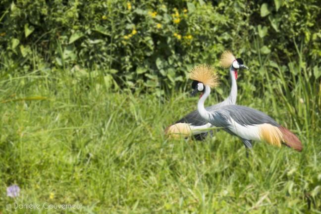 Kraanvogel koppel tijdens Delta cruise