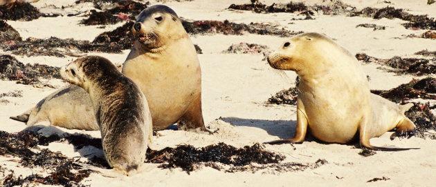 Zeeleeuwen Kangaroo Island
