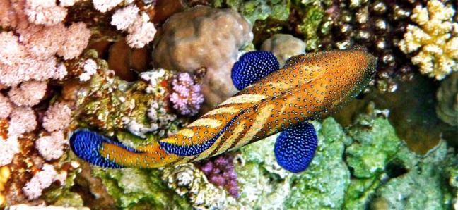De coral grouper