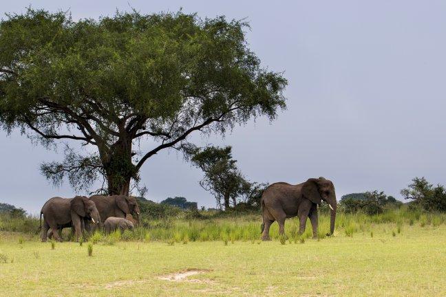 Olifanten in het Murchison Falls N.P.