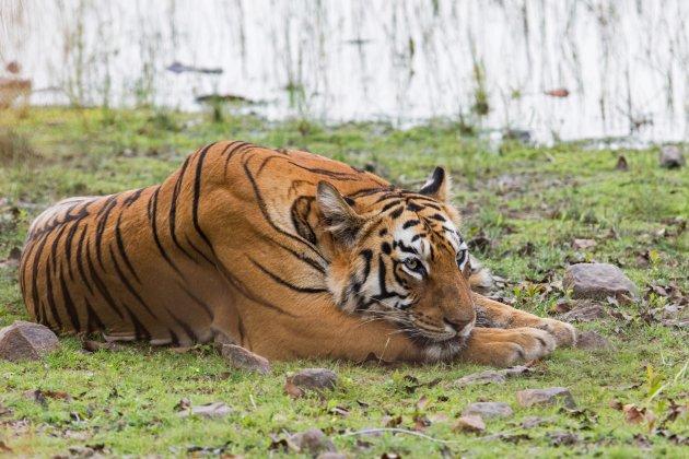 tijger aan Lake Todoba
