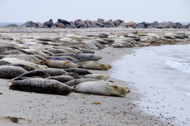 Zeehonden tellen op Düne