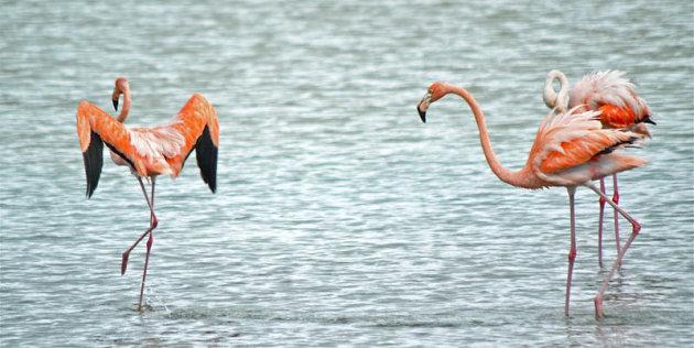 Flamingo's in het Washington Slagbaai Park