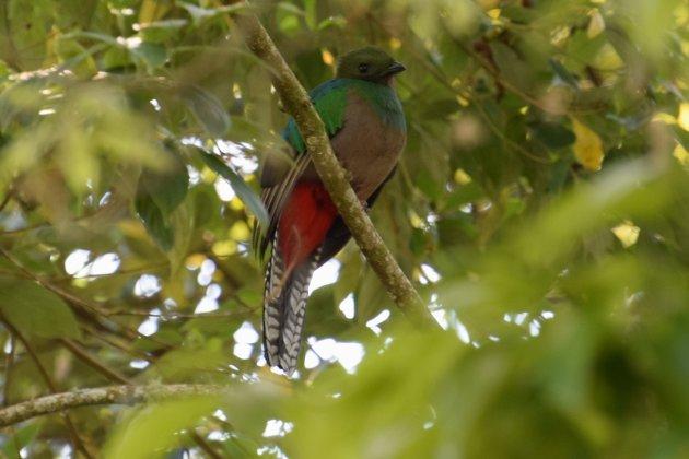 Jawel hoor, ook het vrouwtje mag er zijn...prachtige Quetzaldame