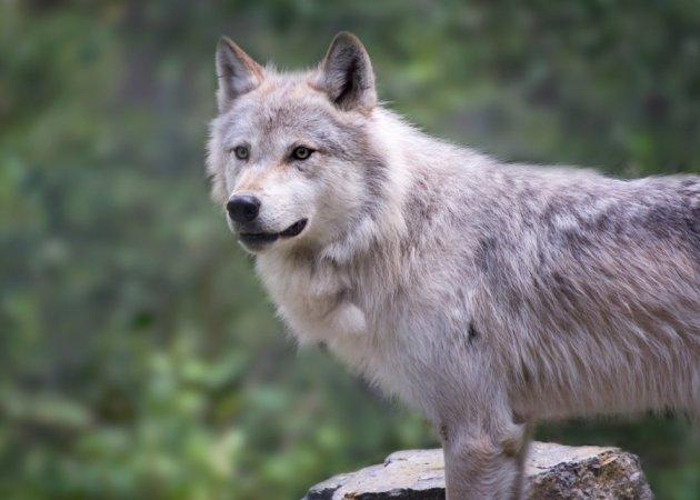 Hiken met wolven