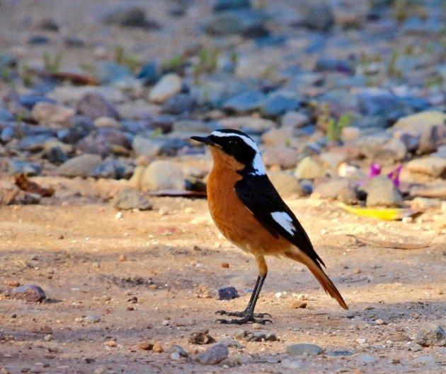 Vogels spotten in Marokko
